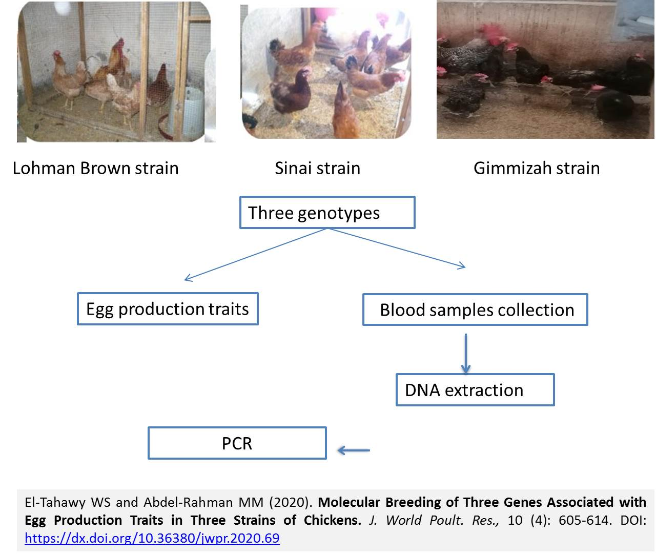 1247-Three_Genes_Associated_with_Egg_Production_Traits