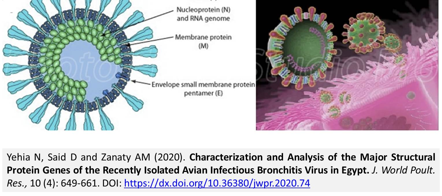 1251-Protein_Genes_Isolated_Avian_Infectious_Bronchitis_Virus